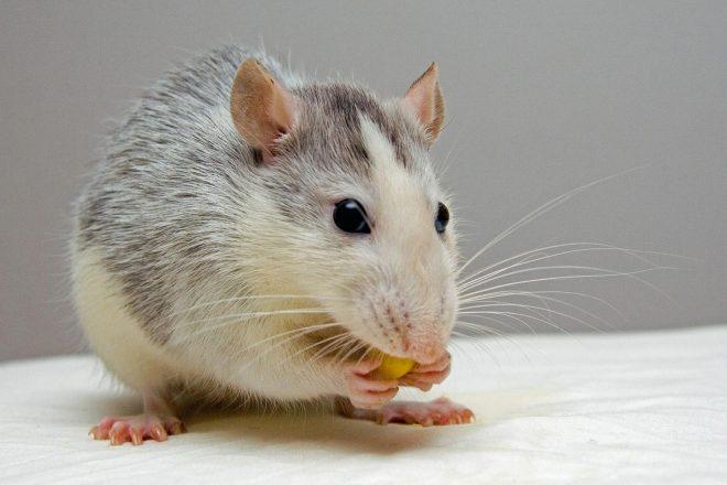 Neue Studie zeigt bei Ratten größeres Verlangen auf Kokain nach Alkoholkonsum