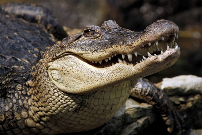 Alligators were given ketamine and headphones to study dinosaur hearing