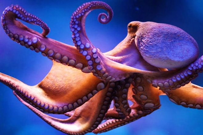 Octopuses on ecstasy drug 'become more social'