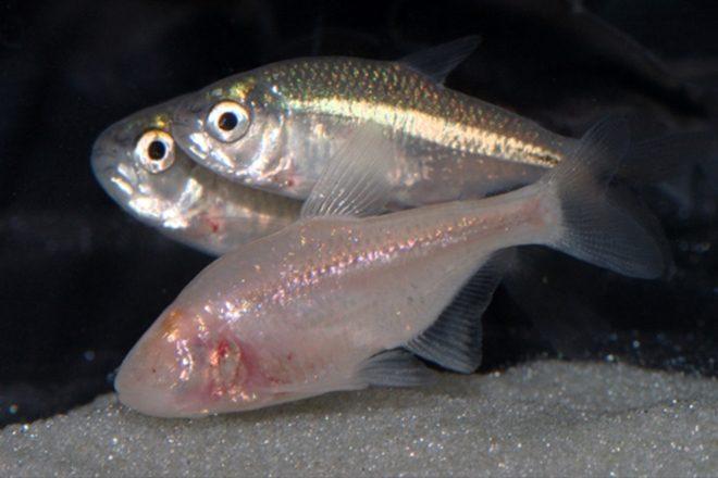 Dieser schlaflose Fisch ermöglicht uns vielleicht die ganze Nacht wach zu bleiben