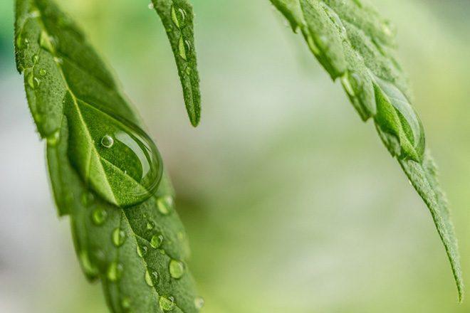 UK Home Secretary Sajid Javid is reviewing the use of medicinal cannabis