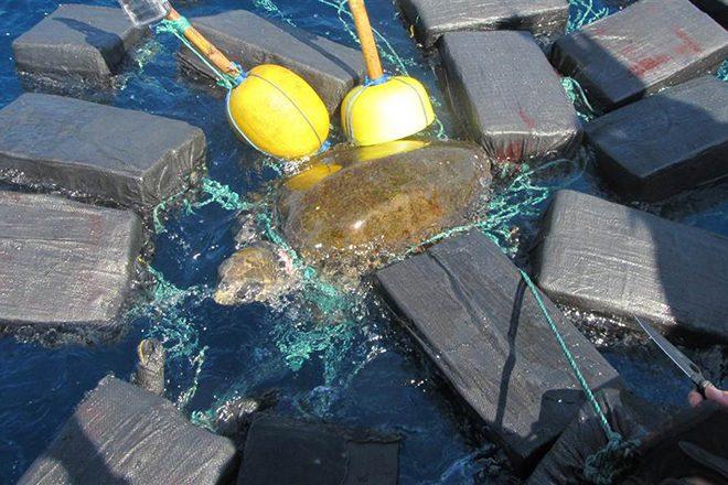 Eine Meeresschildkröte verheddert sich in Kokain