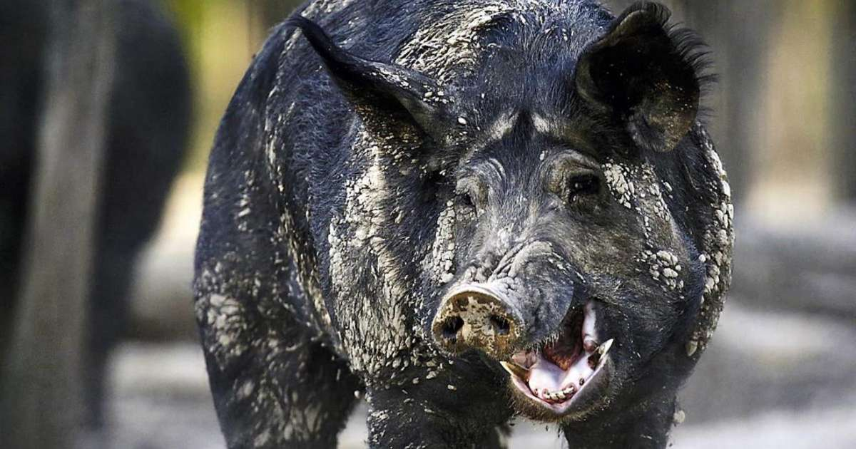 Feral hogs ravage a massive stash of cocaine